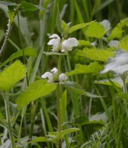 White dead-nettle in Dog Kennel Hill meadow 11.05.2014